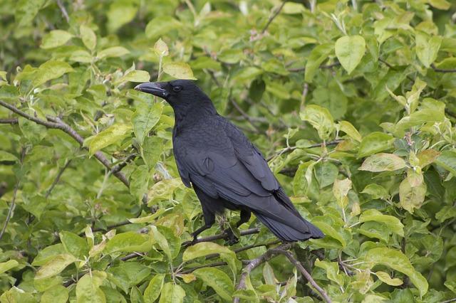 vrána na stromě