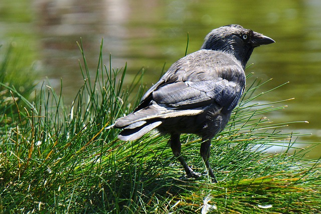 vrána u rybníka